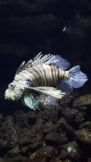 Schorpioen vis