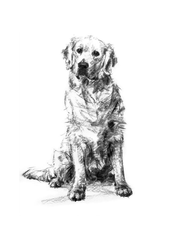 An original sketch of a Golden Retriever dog, charcoal on paper by dog artist Justine Osborne.