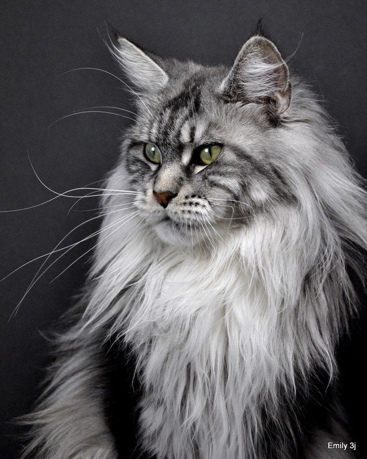 """A beautiful Maine coon cat showing the distinctive """"lynx tip"""" ears, and long shaggy hair ruff around the neck."""