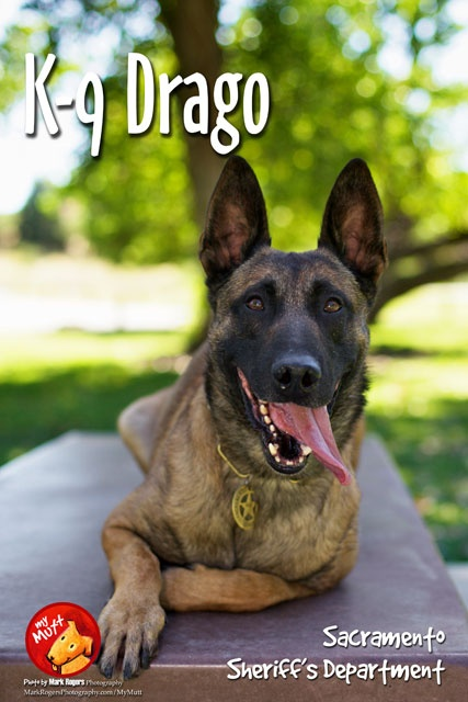 K-9 Drago of the Sacramento Sherrif's Dept. was born in the Czech Republic.