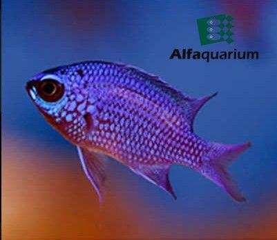 Chromis púrpura Es un pez omnívoro. Deben proporcionársele algas marinas, espirulina, comidas en hojuelas y trocitos finamente picados de carne de cangrejo, pescado, calamar, camarón, pescado, papilla casera, etc.