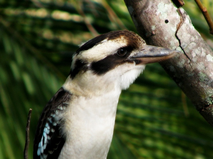 This is a Kookaburra that used to come and visit me on my balcony at home.