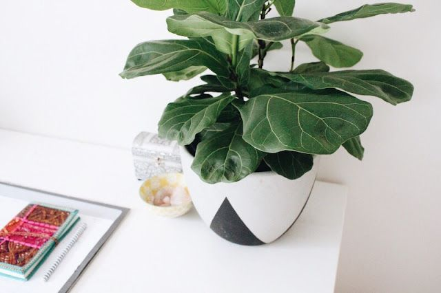 CARING FOR FIDDLE LEAF FIGS // on the blog now www.brittanyfenton.com