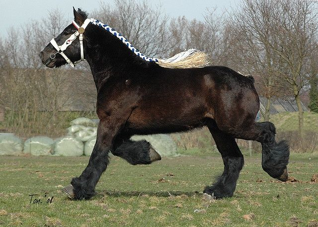The Dutch Heavy Draft usually stands around 16 hands (64 inches, 163 cm) high and are generally chestnut, bay or gray, with black seen rarely. Img: Dutch Draft Horse Bart van Wienenhof.
