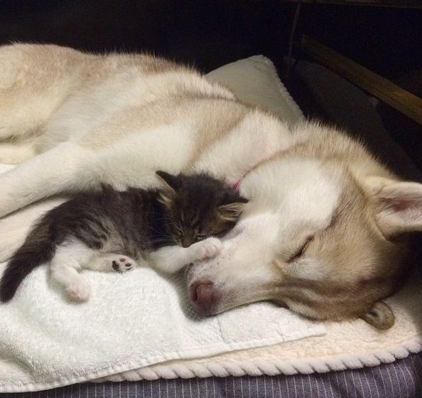 Egy szibériai huskynak köszönheti életét az elárvult kiscica - Hir24