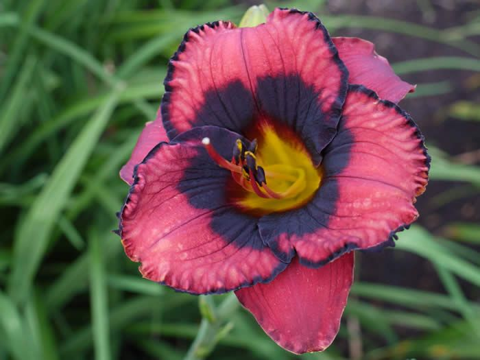 """Daylily """"Black Heart"""". So often black means dark purple.  But this one is really black!  Flower is more coral than pink. 5"""" blooms."""