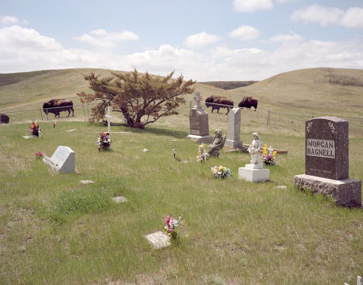 Buffalo by the cemetery, East Oliver, North Dakota - Ian C Bates