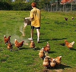 free range chickens are not necessarily organic