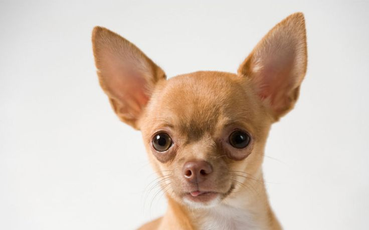 A chihuahua triggered a luggage screening alert at New York's LaGuardia   Airport, American transport security services have reported
