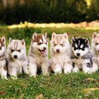 #dogalize Razas de Perros: Perro Pomsky caracteristicas y cuidados #dogs #cats #pets