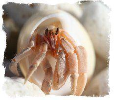 Hermit Crabs Pet Care Information