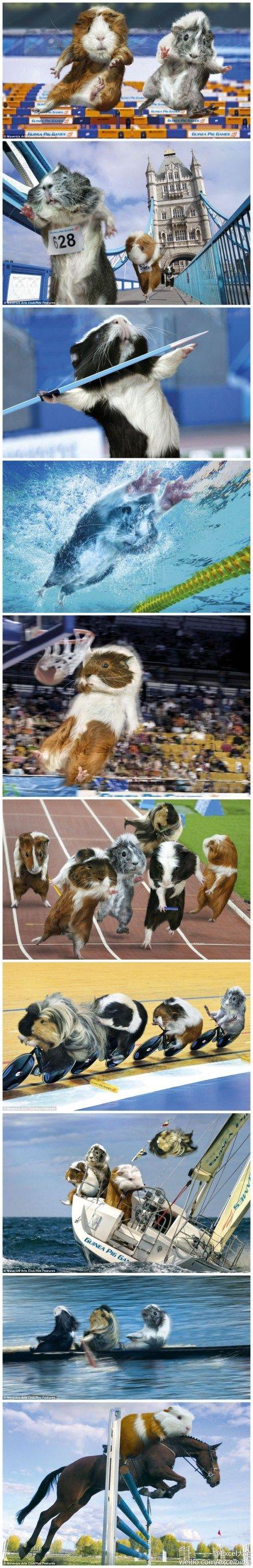 guinea pig olympics =D  love guinea pigs, love this =))) <3