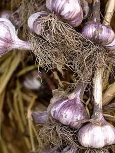 Growing Garlic, Harvesting Garlic, Planting Garlic, Garlic Scapes  Garlic    Garlic has the ability to repel airborne and soilborne pests. It deters beetles, spider mites and fruit flies. The smell of garlic and other alliums confuses carrot fly and white cabbage butterfly. When planted amongst raspberry canes garlic will protect them from a variety of grubs.