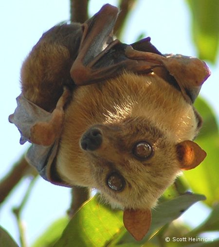 Sulawesi Fruit Bat, Acerodon celebensis, roosts in trees in villages, and also in bamboo. Individuals are commonly seen feeding on breadfruit trees and coconut