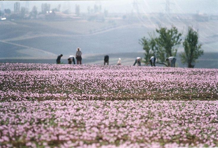 Saffron Field - Kozani, #Macedonia northern Greece