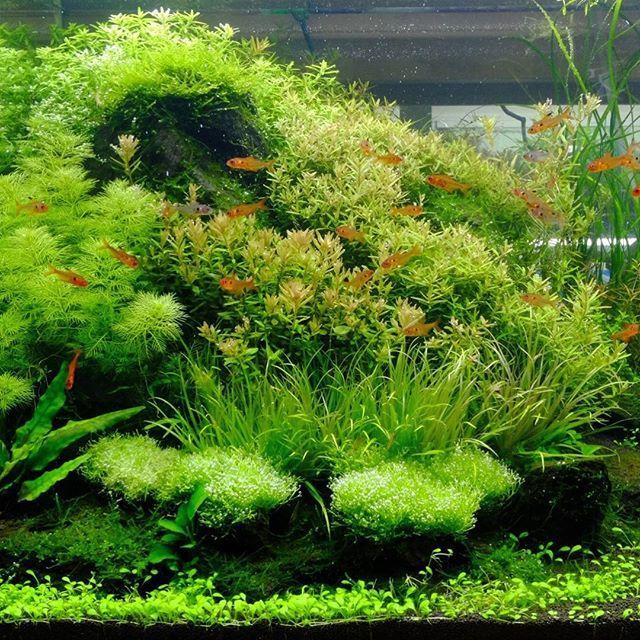 【aquashopwasabi】さんのInstagramをピンしています。 《60×45×45㎝水槽レイアウト🌳🌳 縦横比が正方形に近いサイズのため三角構図を採用📝 #aquadesignamano#aquaticplants#aquashopwasabi#aquarium#natureaquarium#waterplants#plants#熱帯魚#moss#flowerarrangement#greeninterior#interiorgreen#indoorgreen#indoorplants#ada#aquaplants#botanical#aquascape#aquascaping #水草#水草水槽#ネイチャーアクアリウム#ボトルアクアリウム#観葉植物#金魚#アクアリウム#メダカ#paludarium#水槽#フラワーアレンジメント》