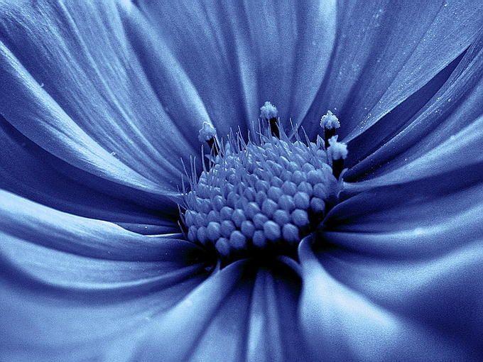 Cerulean blue cosmos | CErULEan | Pinterest | Lorem ipsum ...