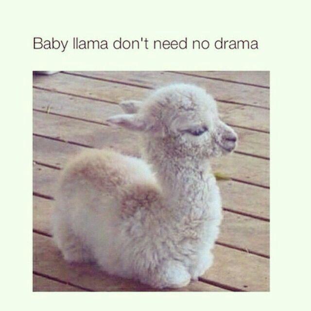 Baby Lama dont Need no Drama !