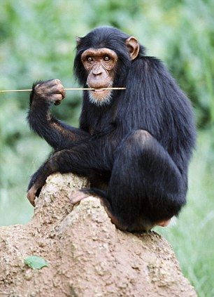 A chimpanzee in Uganda: The stress of close living with humans is causing a difficult and strained life, say researchers
