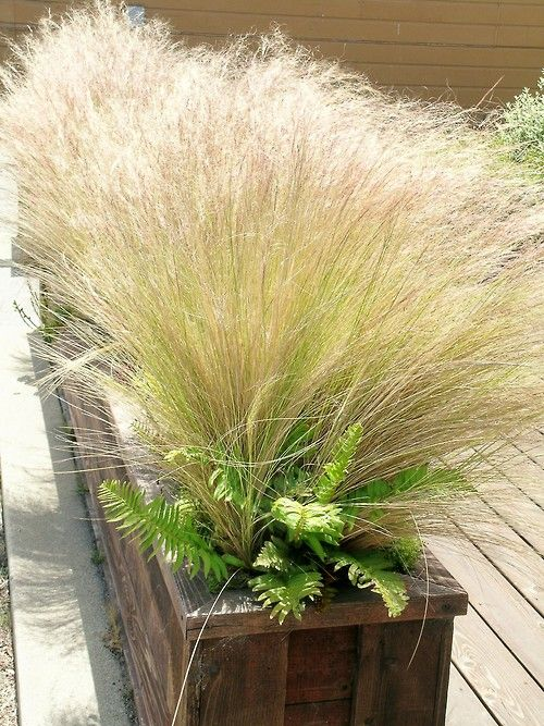 73 best images about ornamental grasses on pinterest for Ornamental feather grass