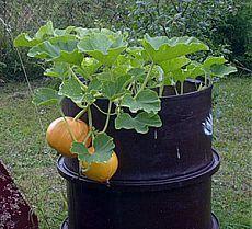 Выращивание тыквы в бочке.