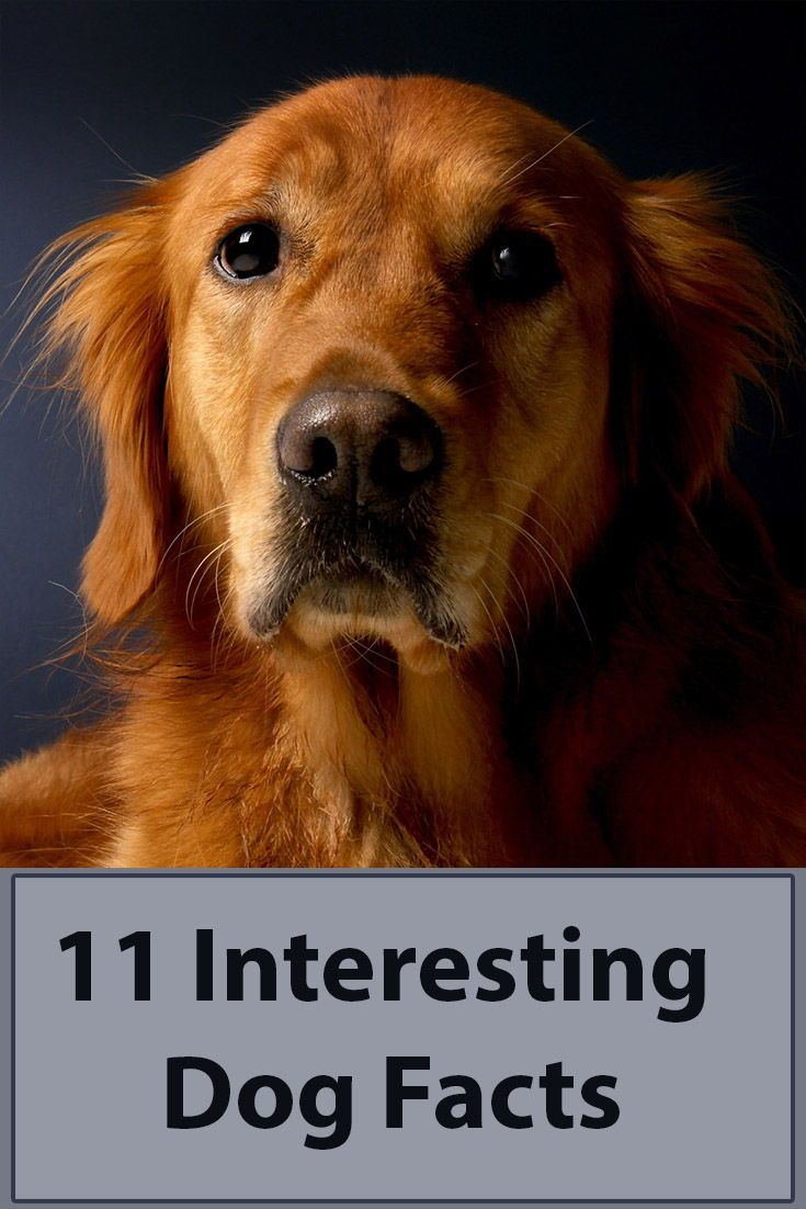 11 Interesting Dog Facts Dog Facts Dogs Golden Retriever Dog