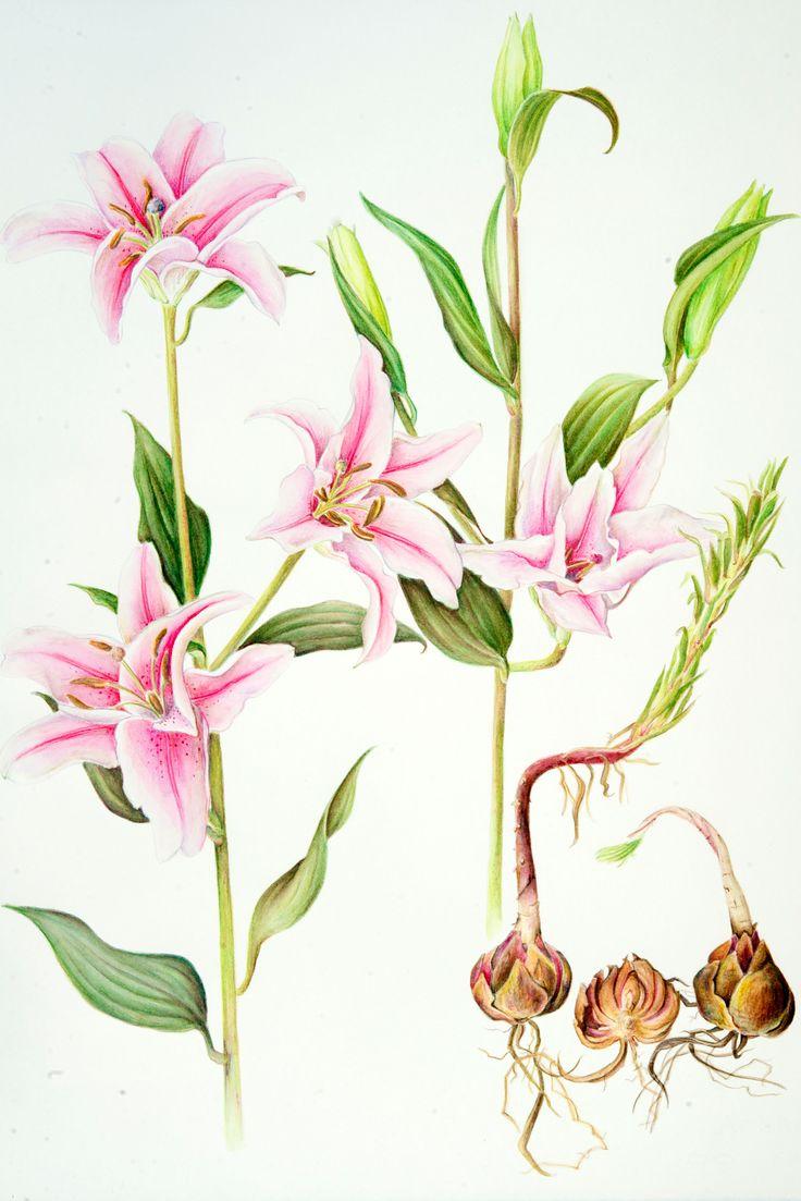 Susan Allabashi - Stargazer Lily, watercolor pencil (2012)