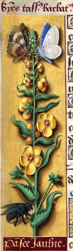 Pansée jaulne - Species tassus barbatus (Verbascum Blattaria L. = molène) -- Grandes Heures d'Anne de Bretagne, BNF, Ms Latin 9474, 1503-1508, f°37v