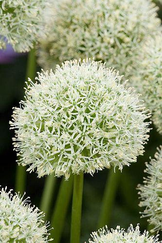 Allium ''mont blanc' - by Clive Nichols
