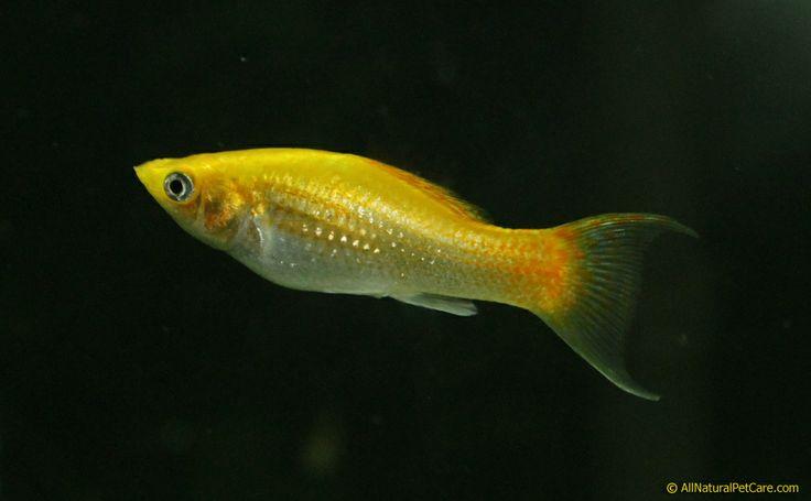 Brilliant Yellow Lyretail Molly Fish in our Aquarium