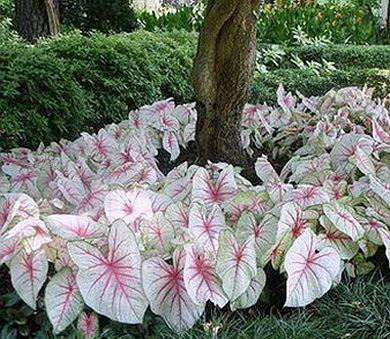 90 best caladium plants images on pinterest gardening for Garden under trees
