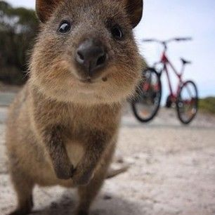 """""""You can do anything!""""   23 Adorable Quokkas That Will Instantly Make Your Day Better"""