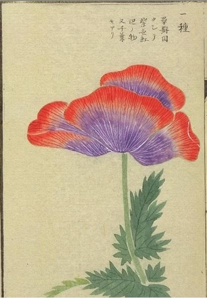Image from 10 albums of flora--more than 700 images from the Museum at the University of Tokyo