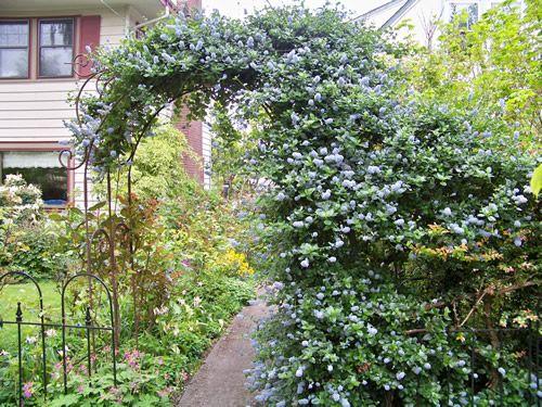 17 best images about fast growing evergreen shrubs on. Black Bedroom Furniture Sets. Home Design Ideas
