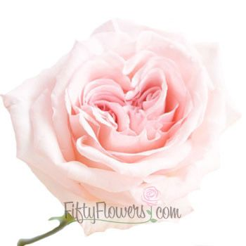 FiftyFlowers.com - Garden Rose Soft Pink Ohara