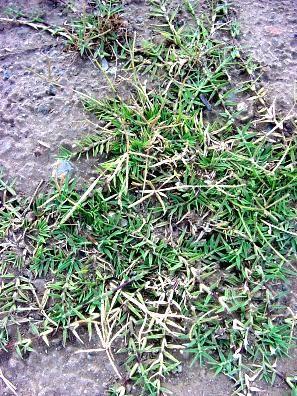 Bermuda Grass – One way to get rid of it!