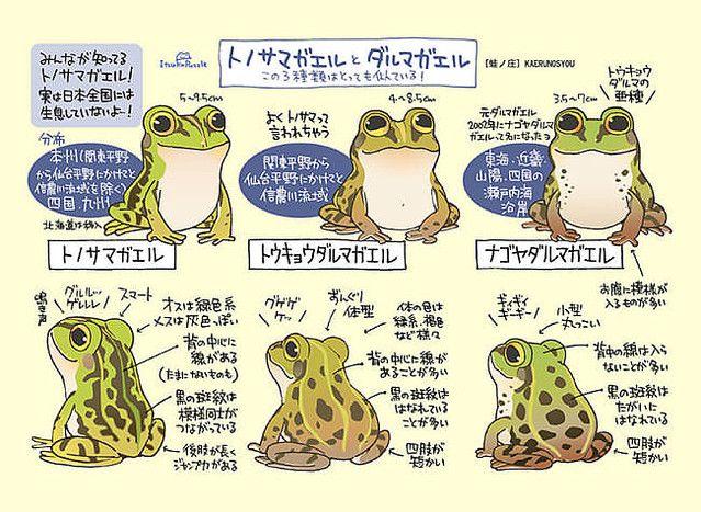 なぜ描いた カエルの見分け方を解説するイラストに 雨の日が