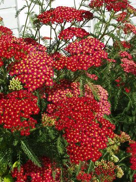 "Achillea Paprika ... perennial ♥ Height: Medium 2' (Plant 14"" apart) Bloom Time: Summer to Early Fall  Sun-Shade: Full Sun to Mostly Sunny  Zones: 3-9    Soil Condition: Normal, Sandy  Flower Color / Accent: Red / Red"
