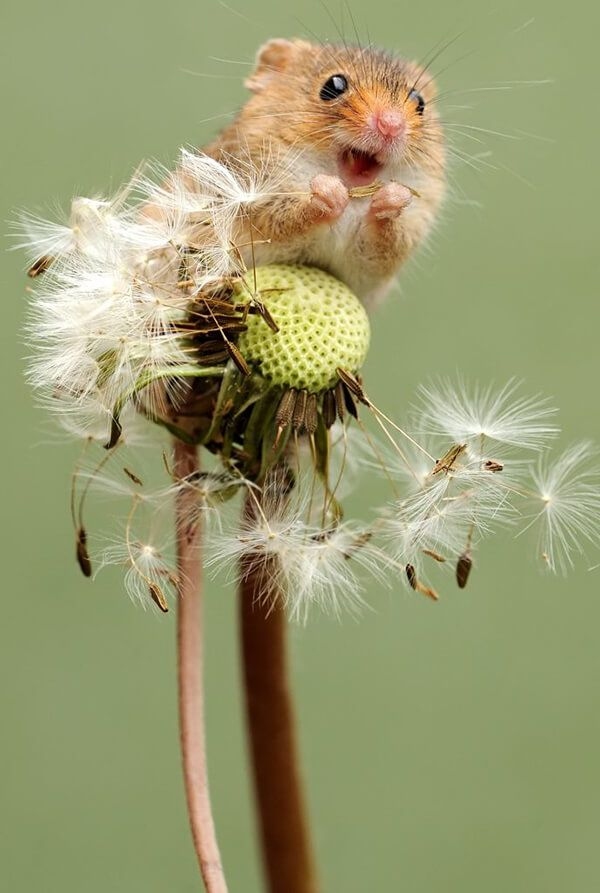 Fotos super fofas do Harvest Mouse   – Tierwelt