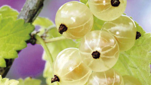Štyri veci, ktoré musíte vedieť o pestovaní ríbezlí - Pluska.sk