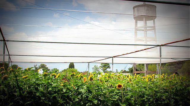 Científicos argentinos confirman capacidad del girasol por su resistencia a sequías   Investigadores argentinos lideran un consorcio internacional de científicos que logró identificar la capacidad genética del girasol y de esta manera obtener cierta resistencia a suelos con poca agua.  A partir de este conocimiento se podrían incrementar los rindes de otras plantas ante situaciones de sequía. El girasol es una planta relativamente tolerante al déficit hídrico por lo cual comprender los…