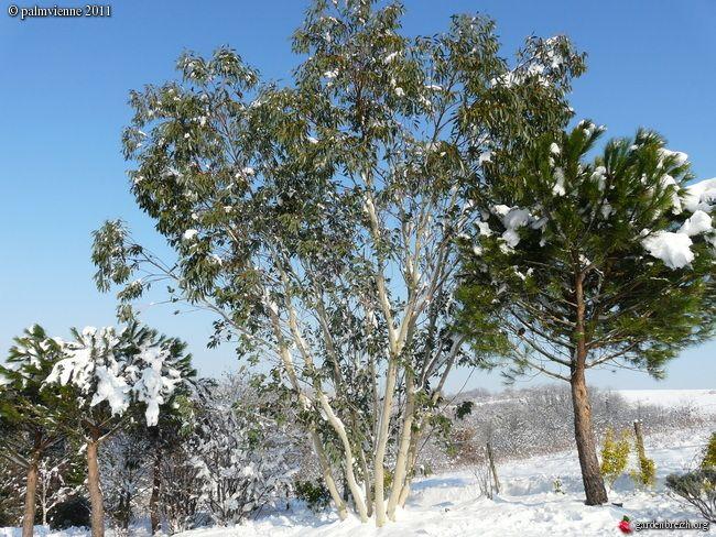 LE FORUM DES FOUS DE PALMIERS • Eucalyptus niphophila