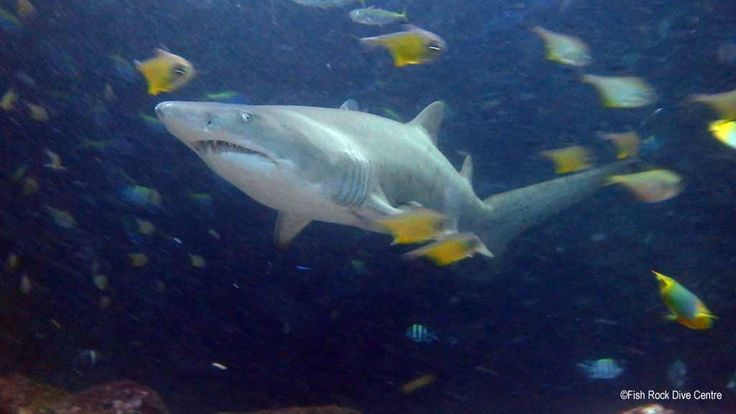 Grey Nurse Shark. #scuba #diving #underwater #travel #diveplanit