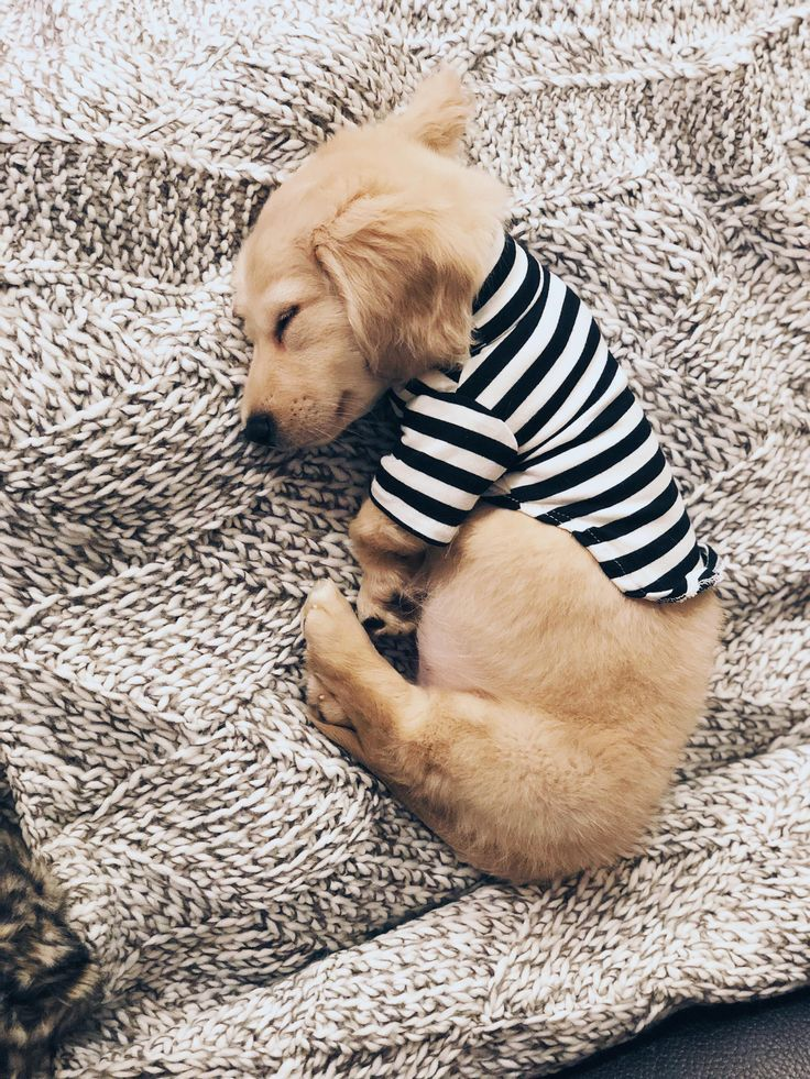 English Cream Dachshund in a striped t shirt by way of Kaufmann's Pet Coaching