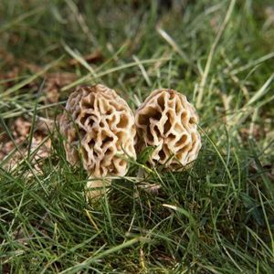 How to Grow Morel Mushrooms in the Garden thumbnail