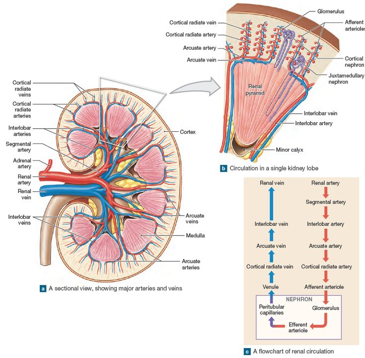 The Blood Supply To The Kidneys