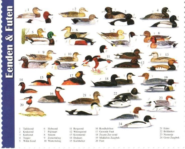 van der Meulen - ducks