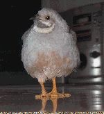 Button quail care