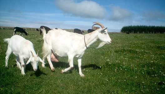 Більше 440 млн. кіз (у всьому світі) виробляють близько 4,8 млн. тонн молока