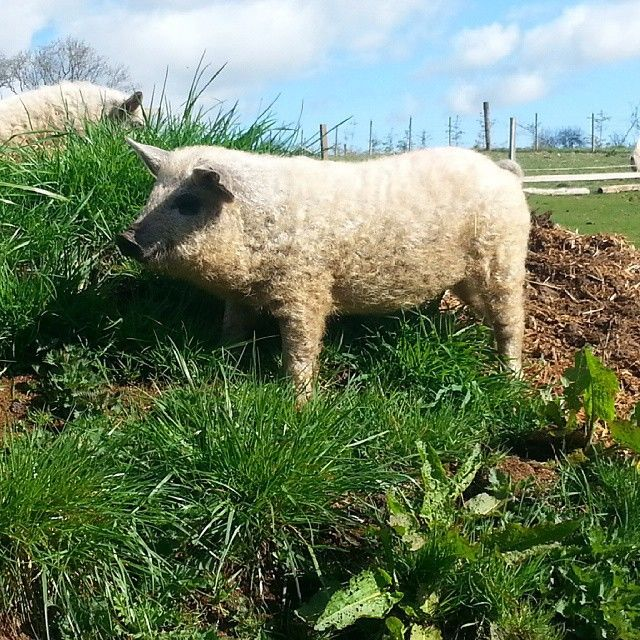 Meet The Adorable Furry Pigs That Look Like Sheep And Act Like Playful Dogs. Mangalitsa pigs